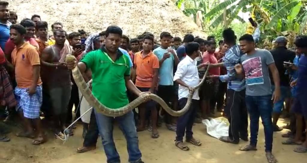 Snake Helpline Rescued 14 Foot King Cobra At Badamba