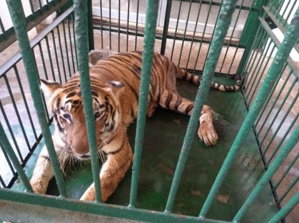 White Tigress Renuka Died In Nandankanan