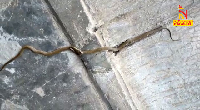 Two King Cobra Face Off In Sunabeda