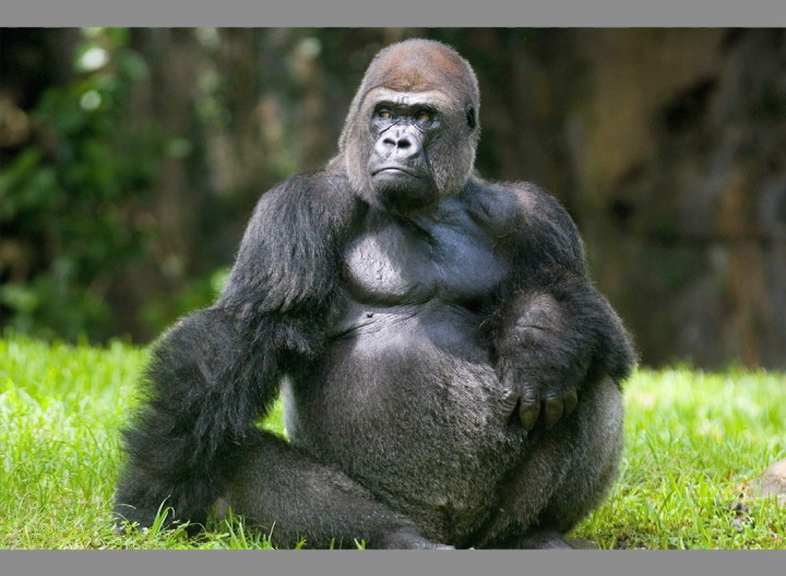 13 Gorillas Test Positive For Covid at Atlanta Zoo