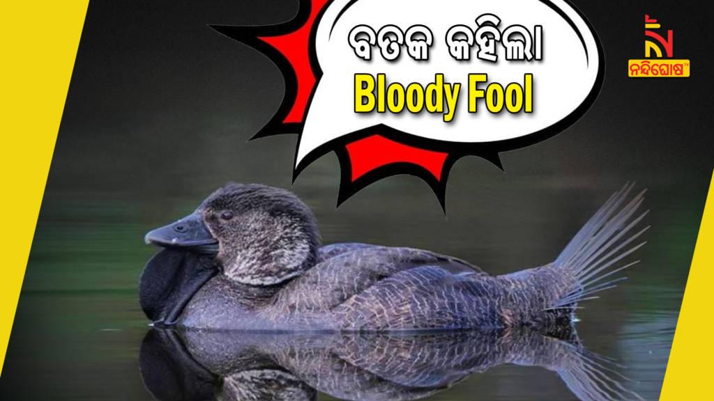 Birds Speak Like Humans Australian Musk Duck Mimic Saying You Bloody Fool