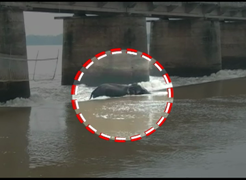 Elephant Gets Trapped In The Middle Of Overflowing River In Mundali Bridge
