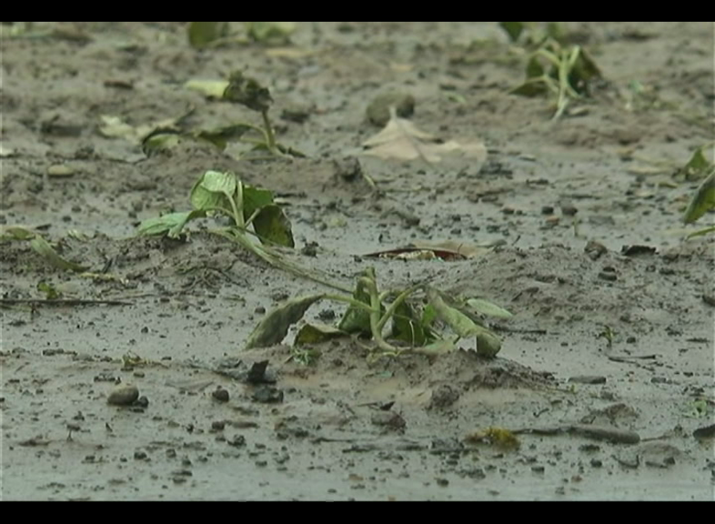 Hundred Hectre Of Crops Affected By Heavy Rain In Puri And Karanjia