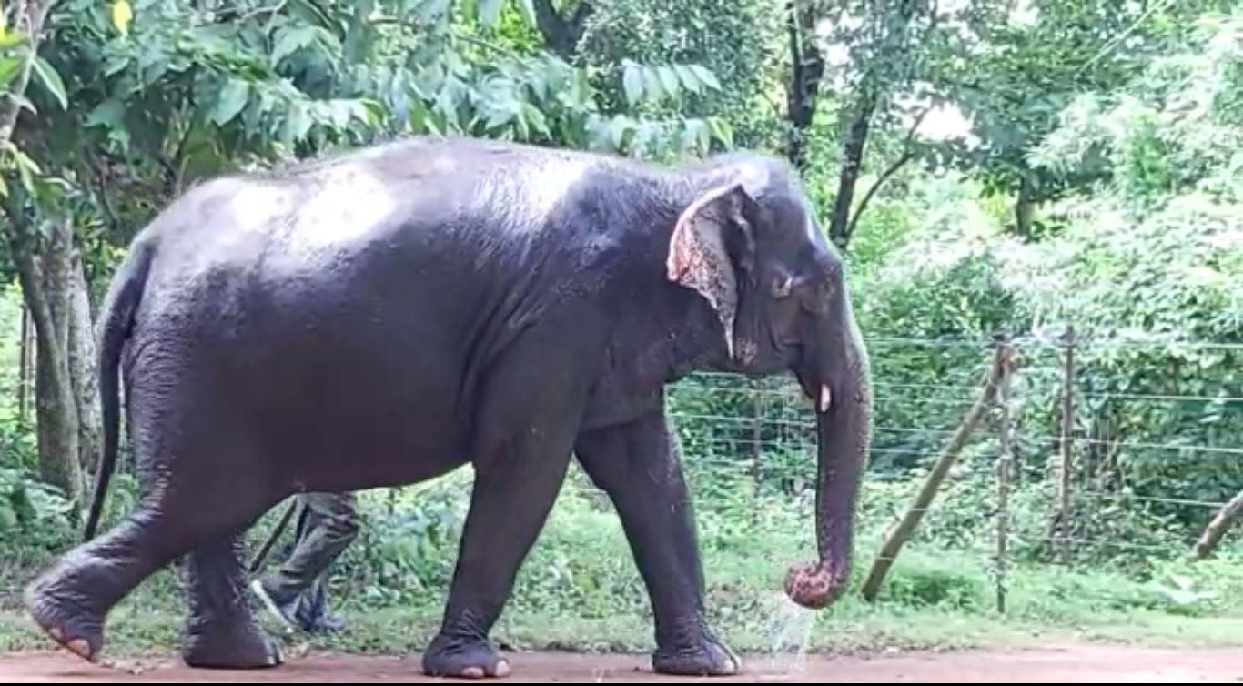 Radio Collaring Of Wild Elephant To Track Chandaka